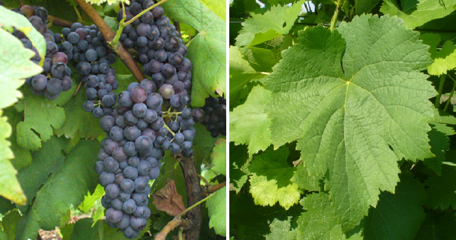 Abbuoto - grape and leaf