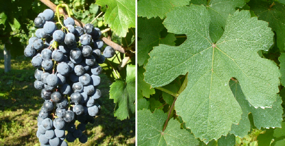 Piedirosso - grape and leaf