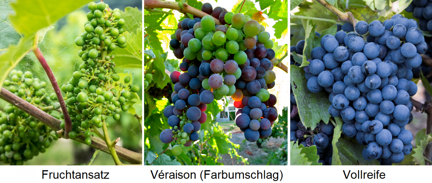 Ripening time - fruiting approach / Véraison (color change) / full ripeness