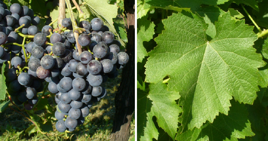 Doux d'Henry - grape and leaf