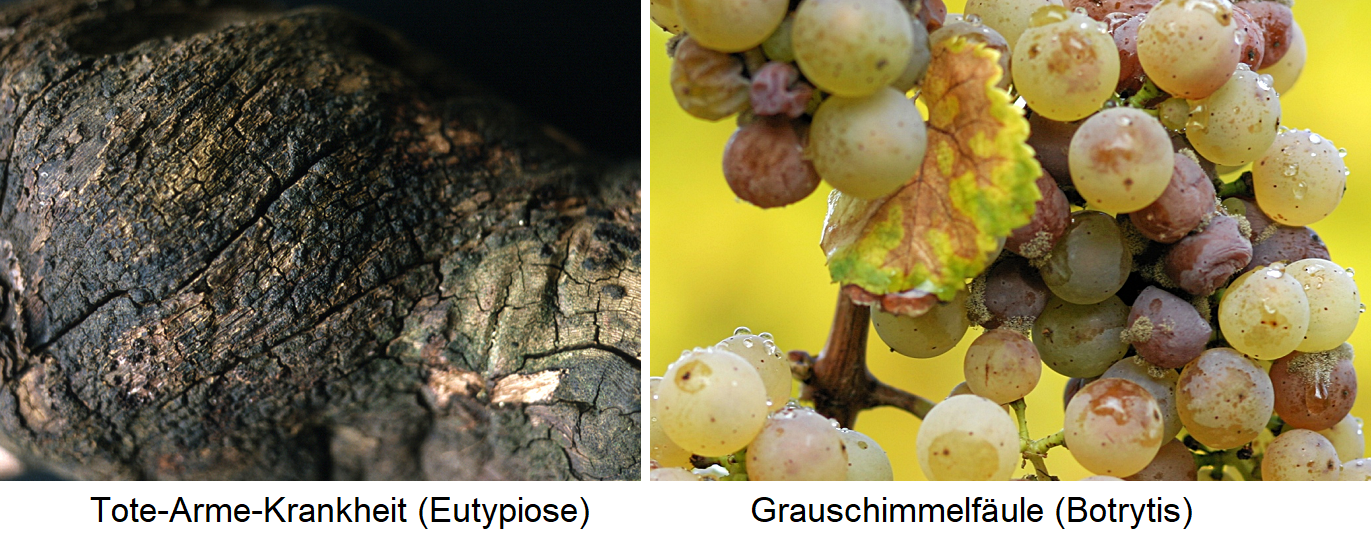 Fungi - dead-poor disease (eutypiose) and gray mold (botrytis)