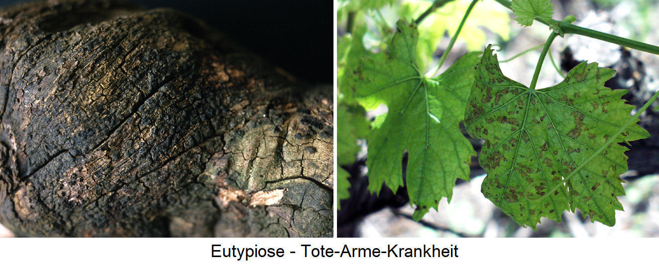 Eutypiose - rotten wood and leaf necrosis