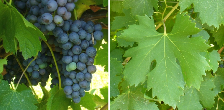 Oseleta - grape and leaf