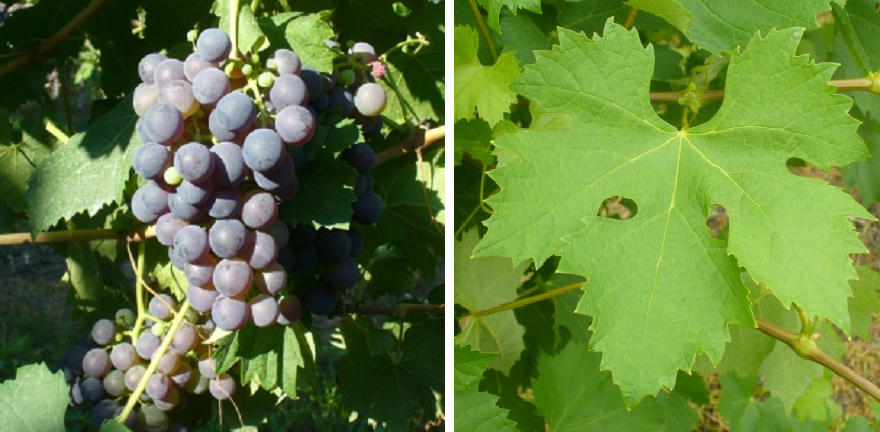 Nigra - grape and leaf