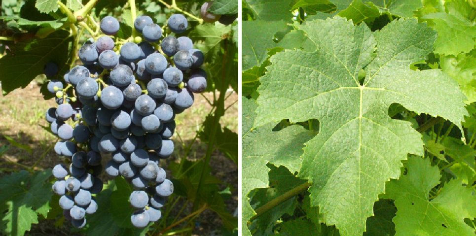Prodest - grape and leaf