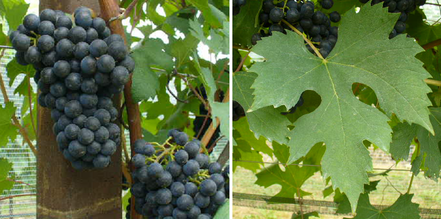 Ancellotta - grape and leaf