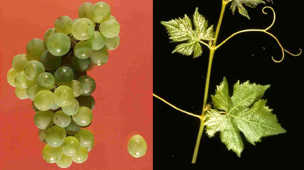 Rèze - grape and leaf