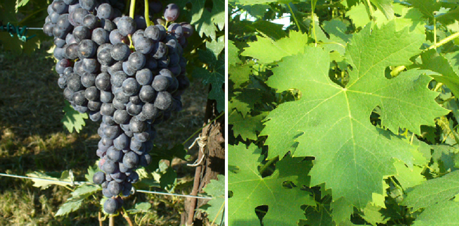 Vespolina - grape and leaf