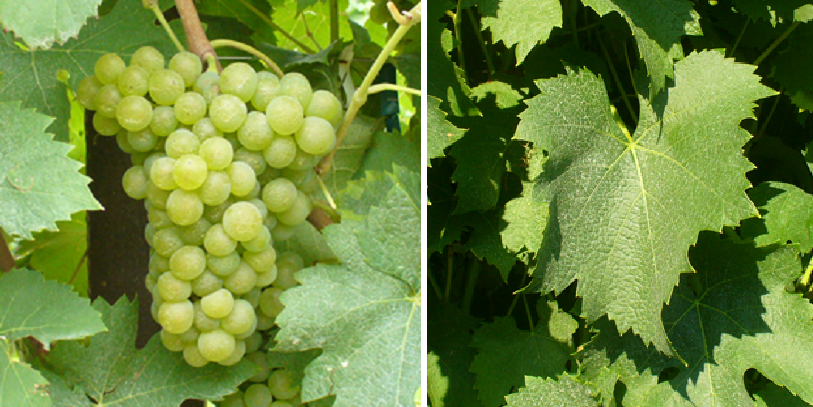 Arneis - grape and leaf