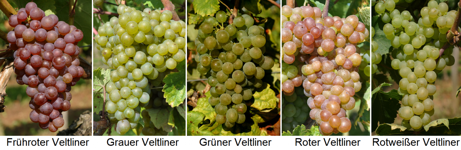 Veltliner - early red, gray, green, red and red-white Veltliner