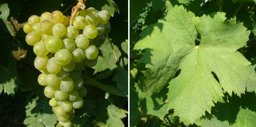 Grillo - grape and leaf
