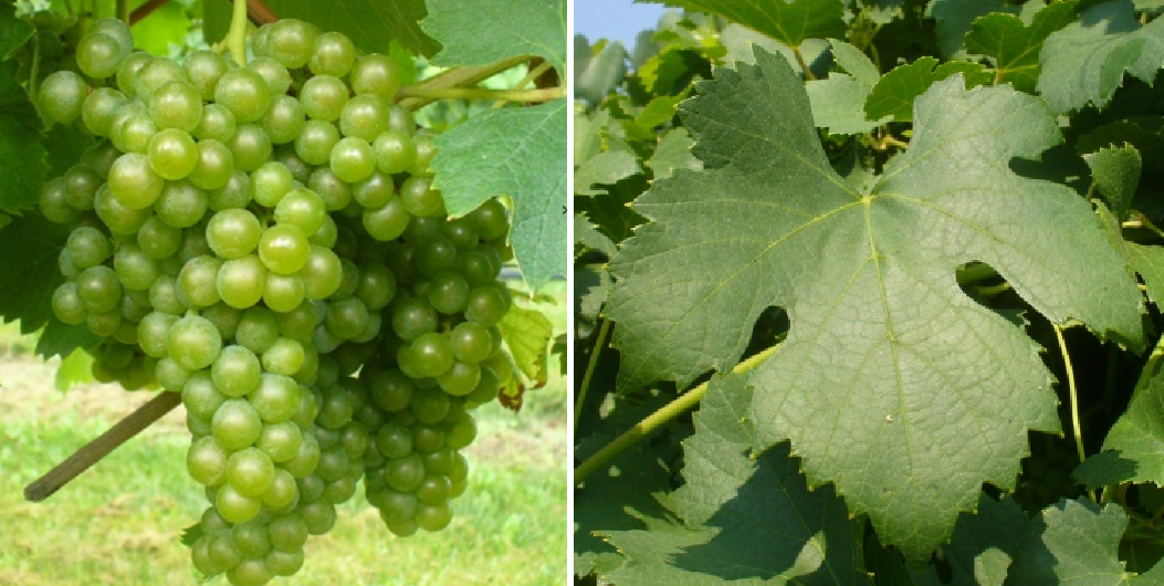 Greco - grape and leaf