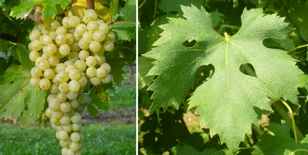 Grechetto di Orvieto - grape and leaf