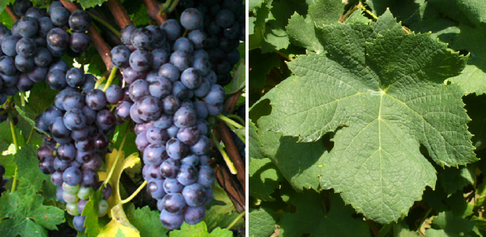 Pignola Valtellinese - grape and leaf