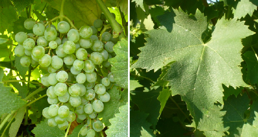 Carricante - grape and leaf