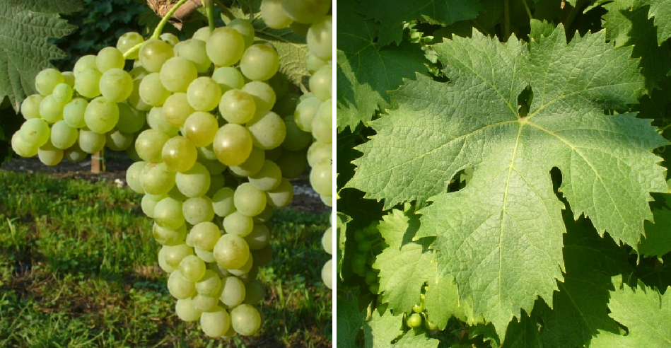 Vermentino - grape and leaf