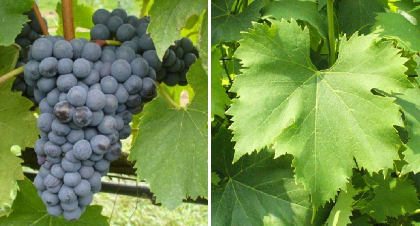 Prugnolo Gentile - grape and leaf