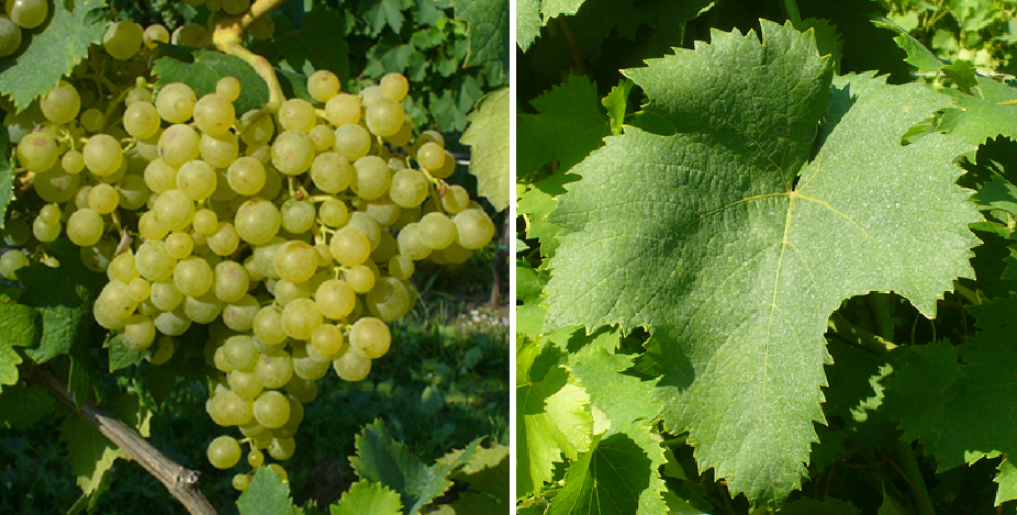 Passerina - grape and leaf