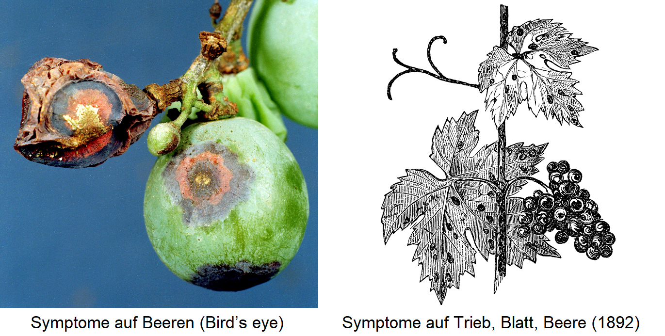 Anthracnose - symptom on berry (Bird's eye) / symptoms on shoot, leaf, berry (drawing)
