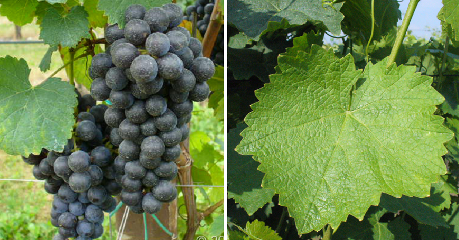 Brachetto del Piemonte - grape and leaf