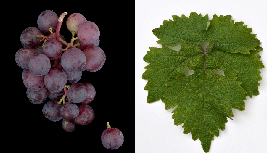 Misket Dunavski - grape and leaf