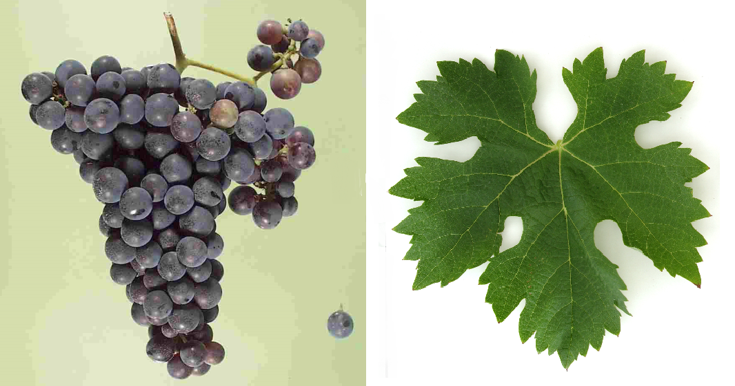 Egiodola - grape and leaf