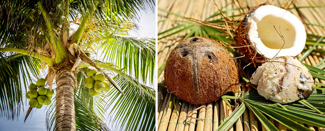 Coconut - tree and fruit
