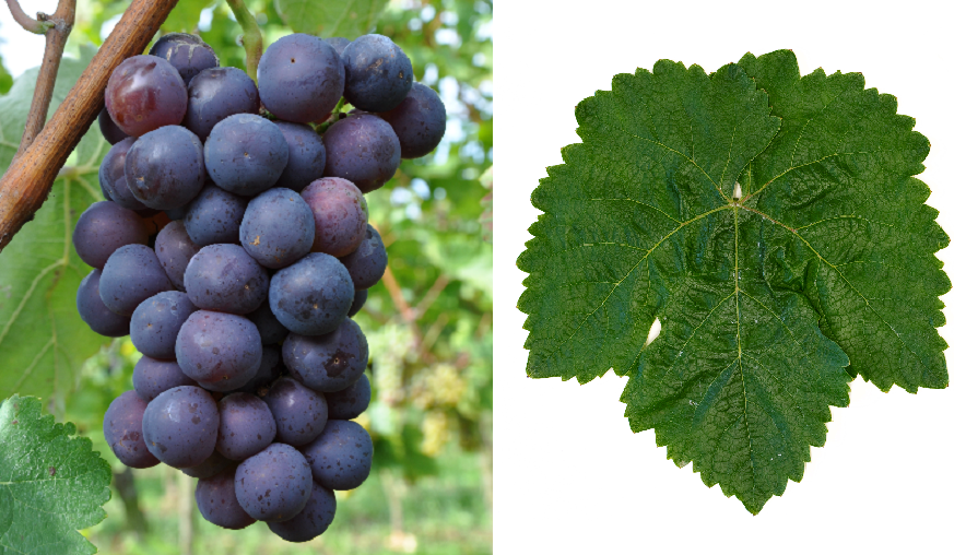 Kharistvala Kolkhuri - grape and leaf