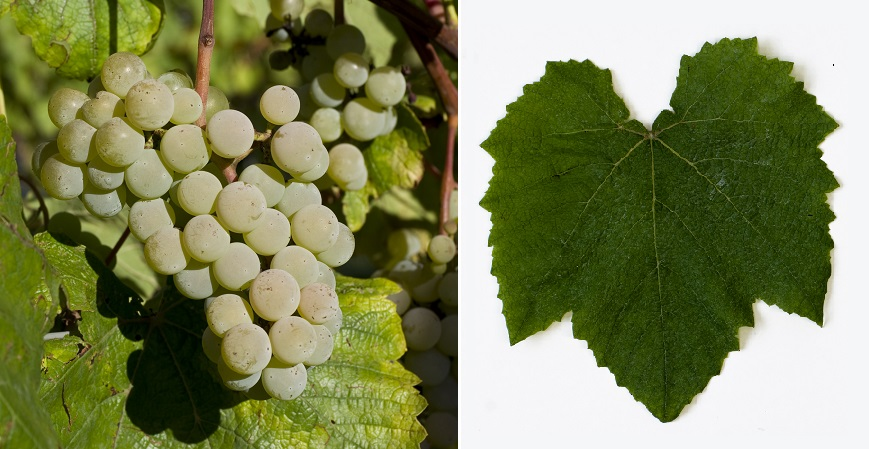 Albania (grape variety) - grape and leaf