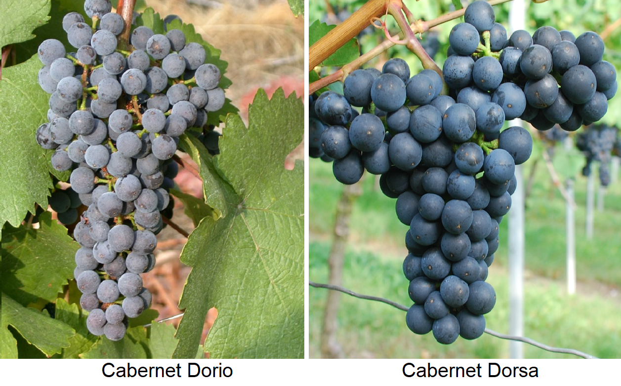 Grapes Cabernet Dorio and Cabernet Dorsa
