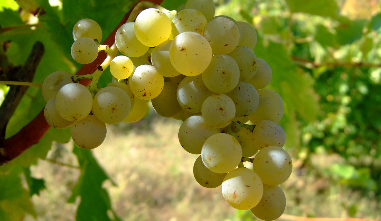 Cygne Blanc - grape