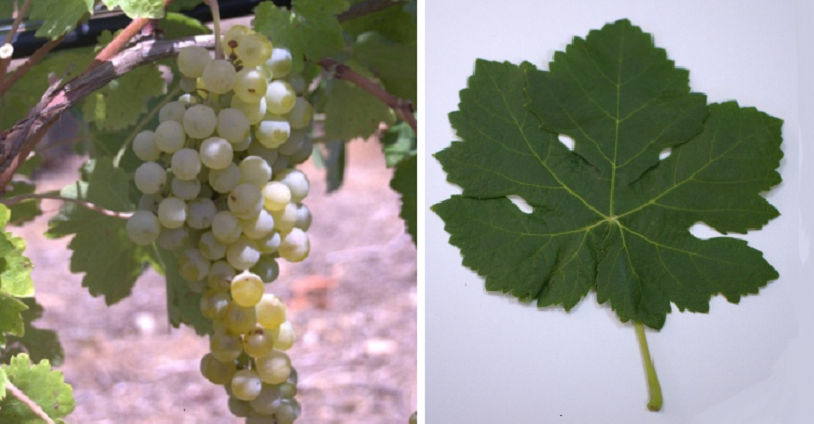 Hebén (Pansale in Sardinia) - grape and leaf