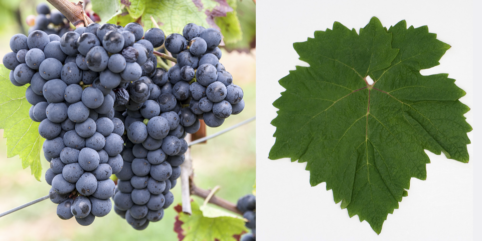 Herbos - bunch of grapes and leaf