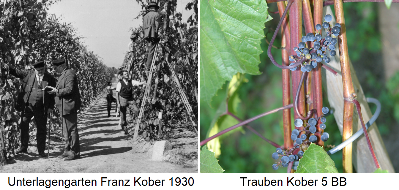 Kober 5 BB - Documentary garden by Franz Kober 1930 and grapes